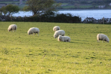 Of course Ireland would not be complete without sheep :-)